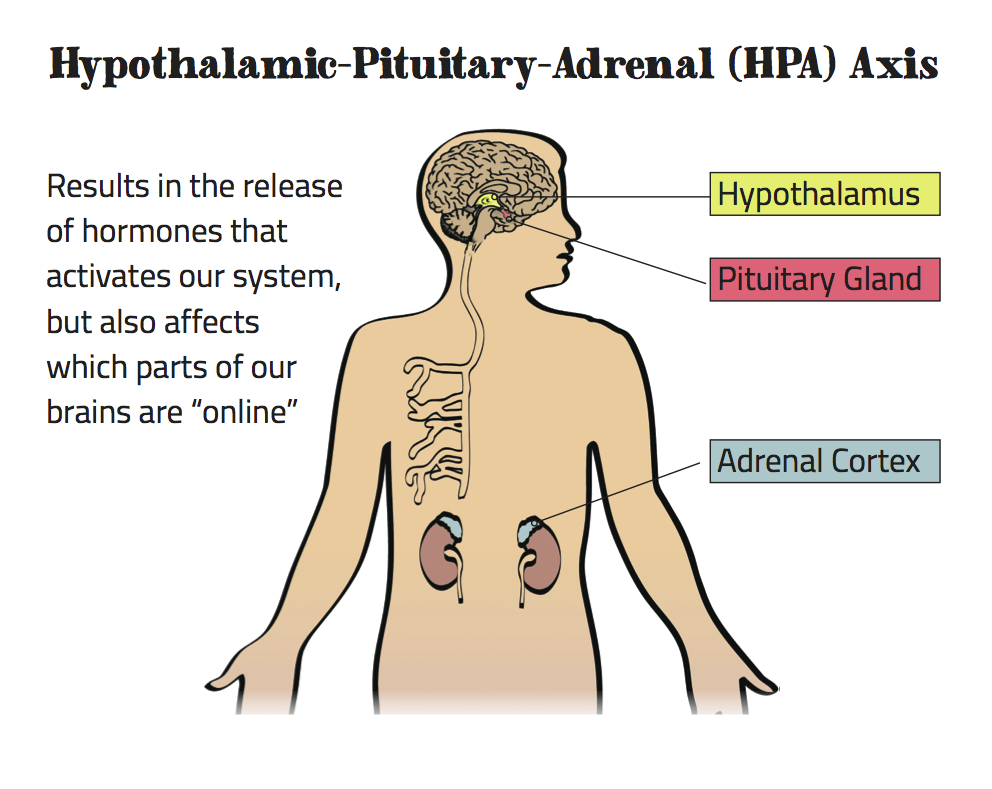 body-brain-HPA-Axis